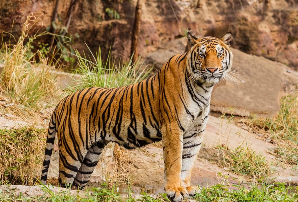 Safari en la India para ver tigres